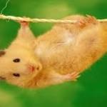 hanging hamster
