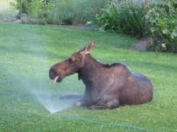 moose in sprinkler